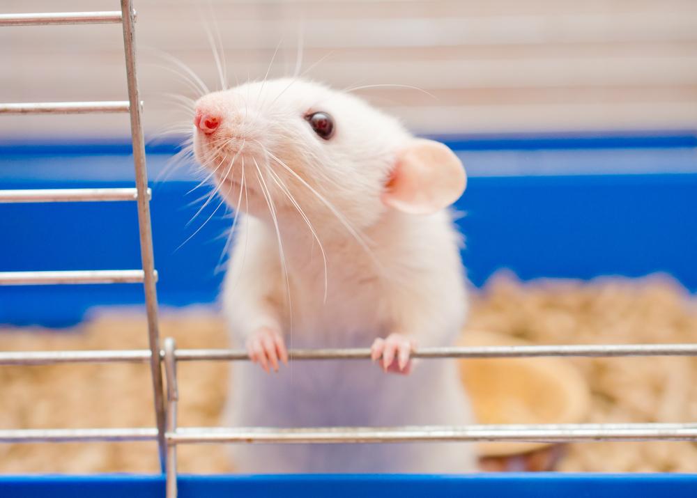 protein osteopontin may worsen MG progression